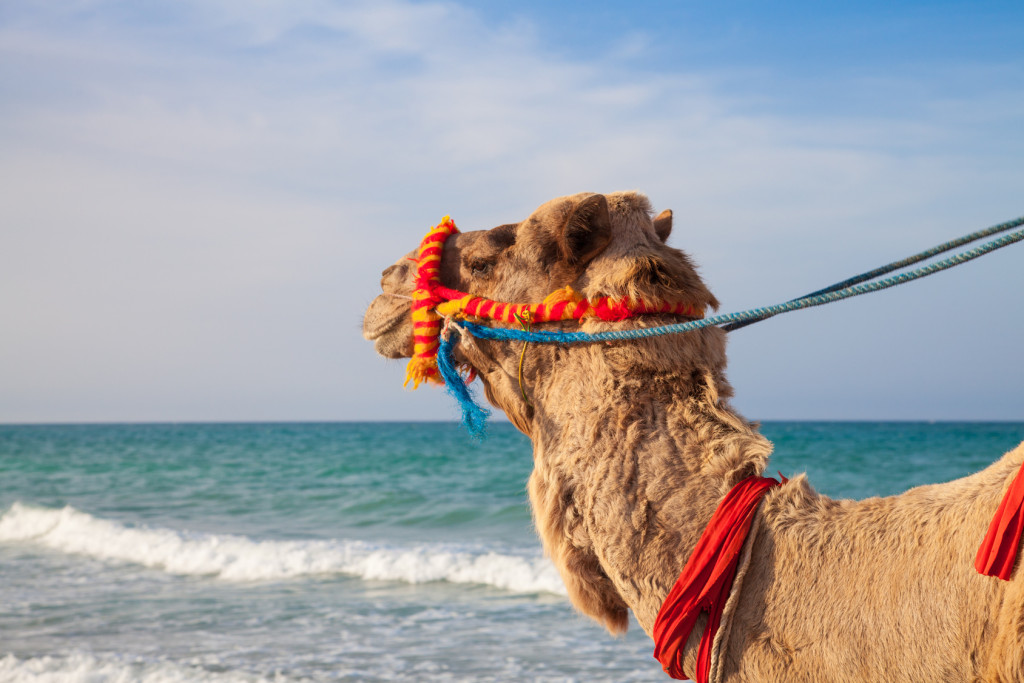 Kamel am Strand von Tunesien