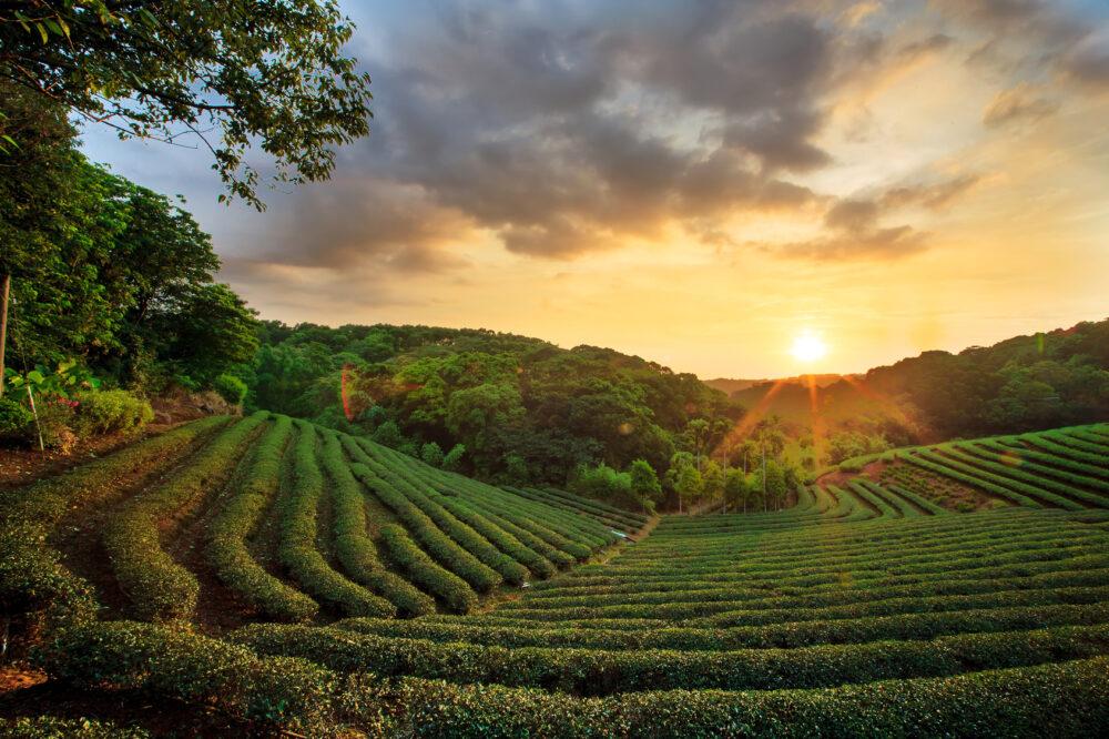 Sri Lanka Tee-Plantage