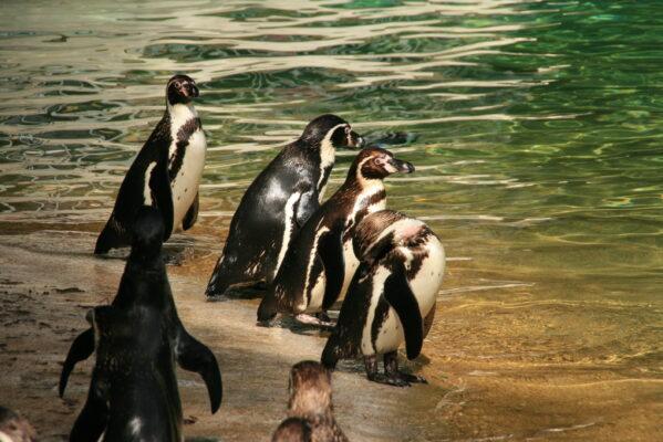 Pinguine Kölner Zoo