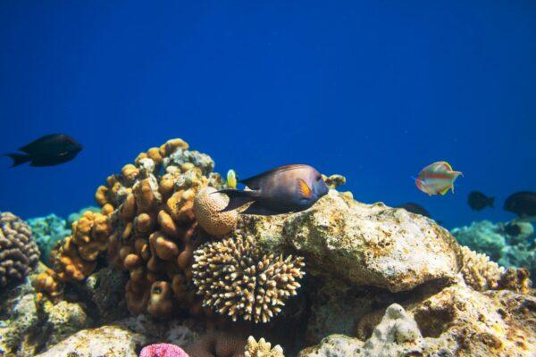 Schildkröte beim Tauchen in Ägypten