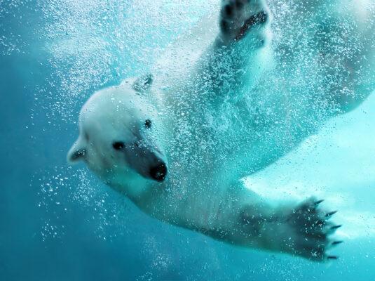 Zoo Polarbär