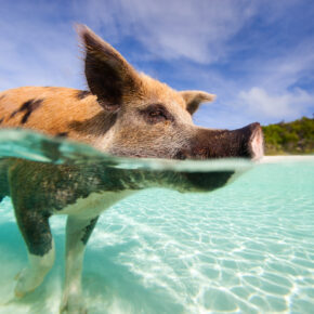 Besucht die schwimmenden Schweine: 6 Tage Bahamas inkl. Flug & Hotel nur 844 €