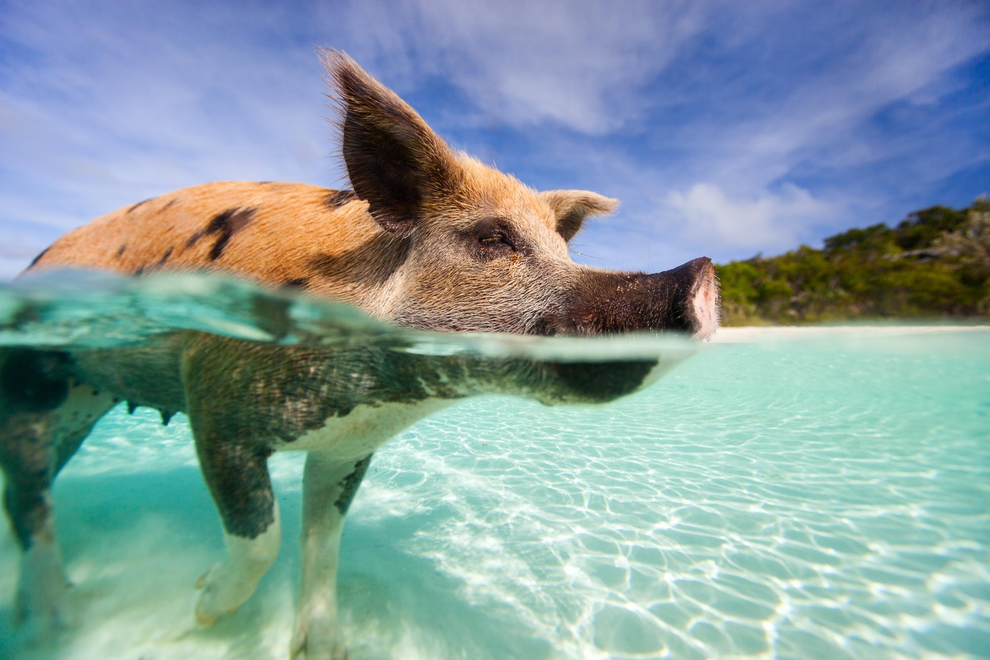 Clearest Water Besucht Die Schwimmenden Schweine 6 Tage Bahamas Inkl