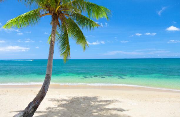 Koh Lanta Palm Tree