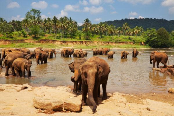 Elefanten im Fluss auf Sri Lanka