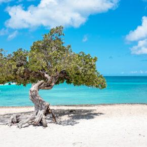 Aruba Divi Divi Baum