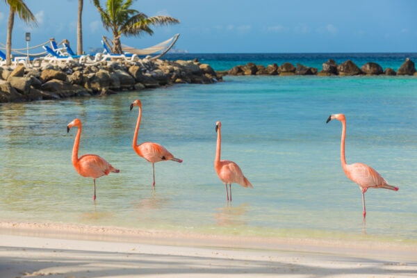 Aruba Flamingos