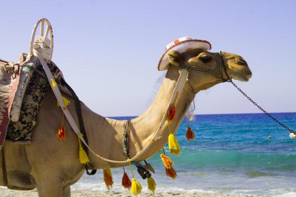 Marokko Strand Camel