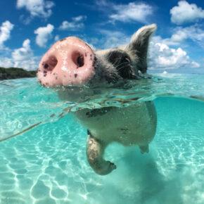 Bahamas Schweine: Schwimmende Schweinchen am Traumstrand