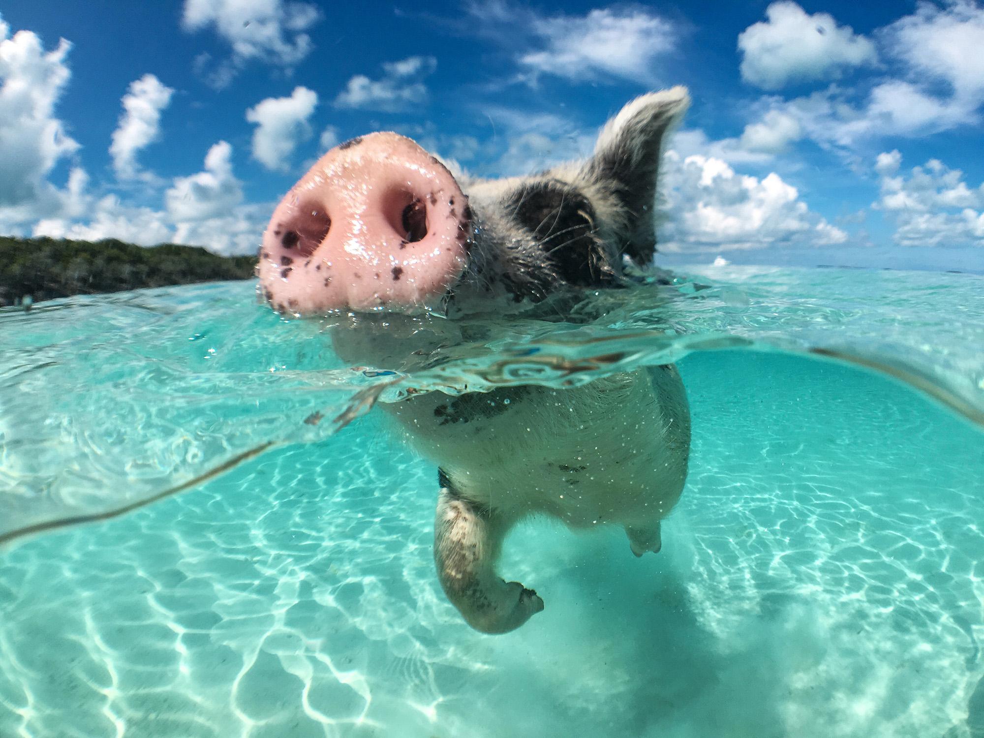 Bahamas Schweine Schwimmende Schweinchen Am Traumstrand Urlaubstracker De