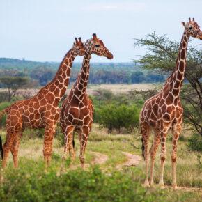 Giraffe Manor Hotel - frühstücken mit Giraffen