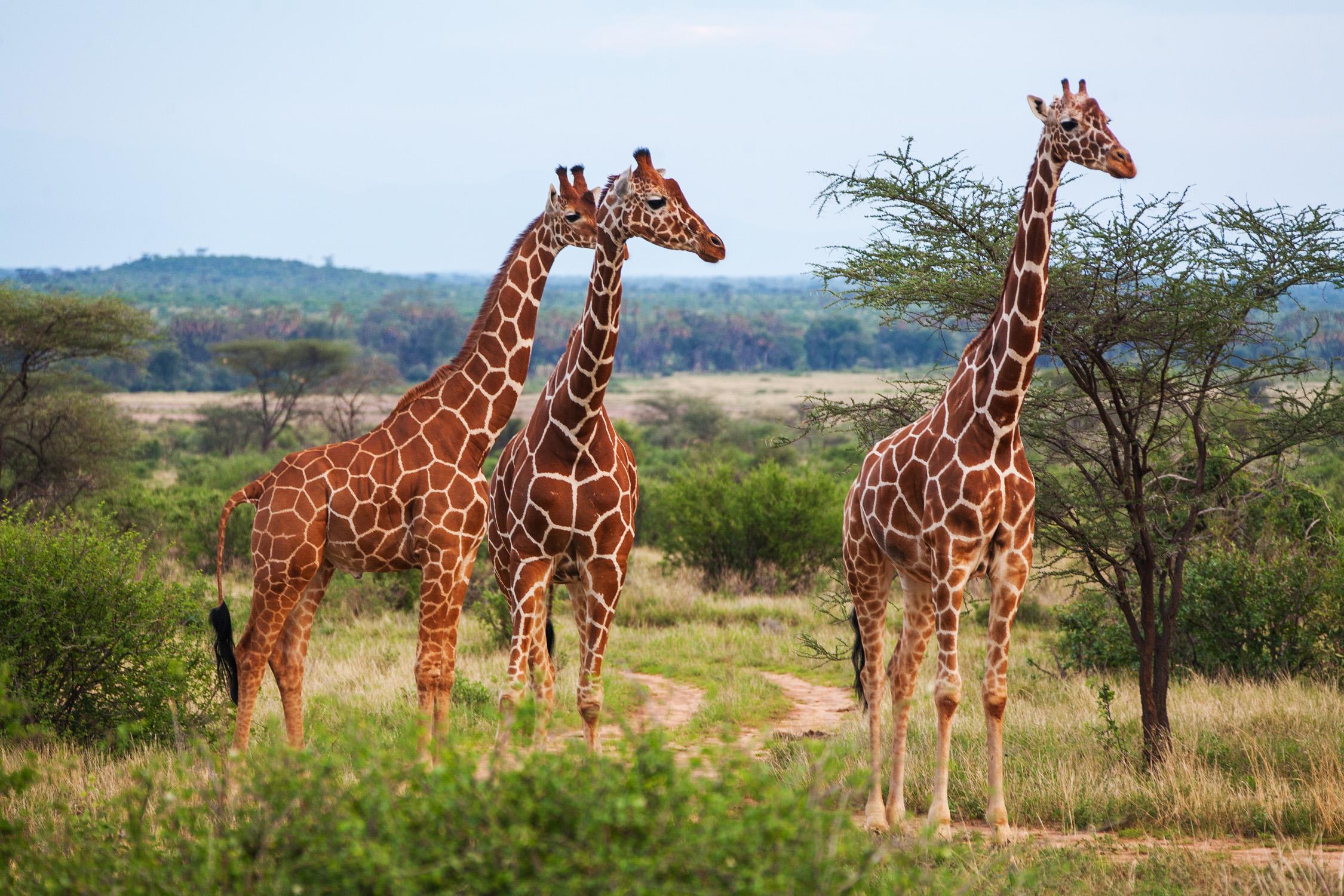 Giraffe manor hotel fr hst cken mit giraffen - Colorazione pagine animali zoo ...
