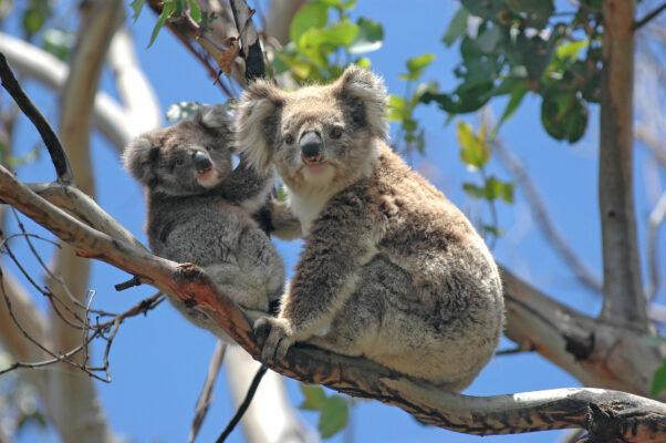 Australien Koala Baum