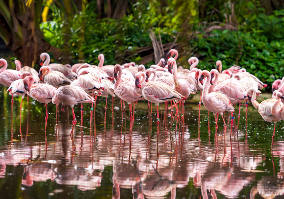 USA Everglades Flamingo