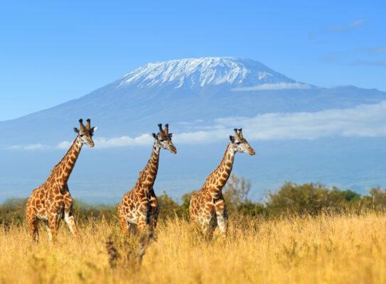 Kenia Giraffen