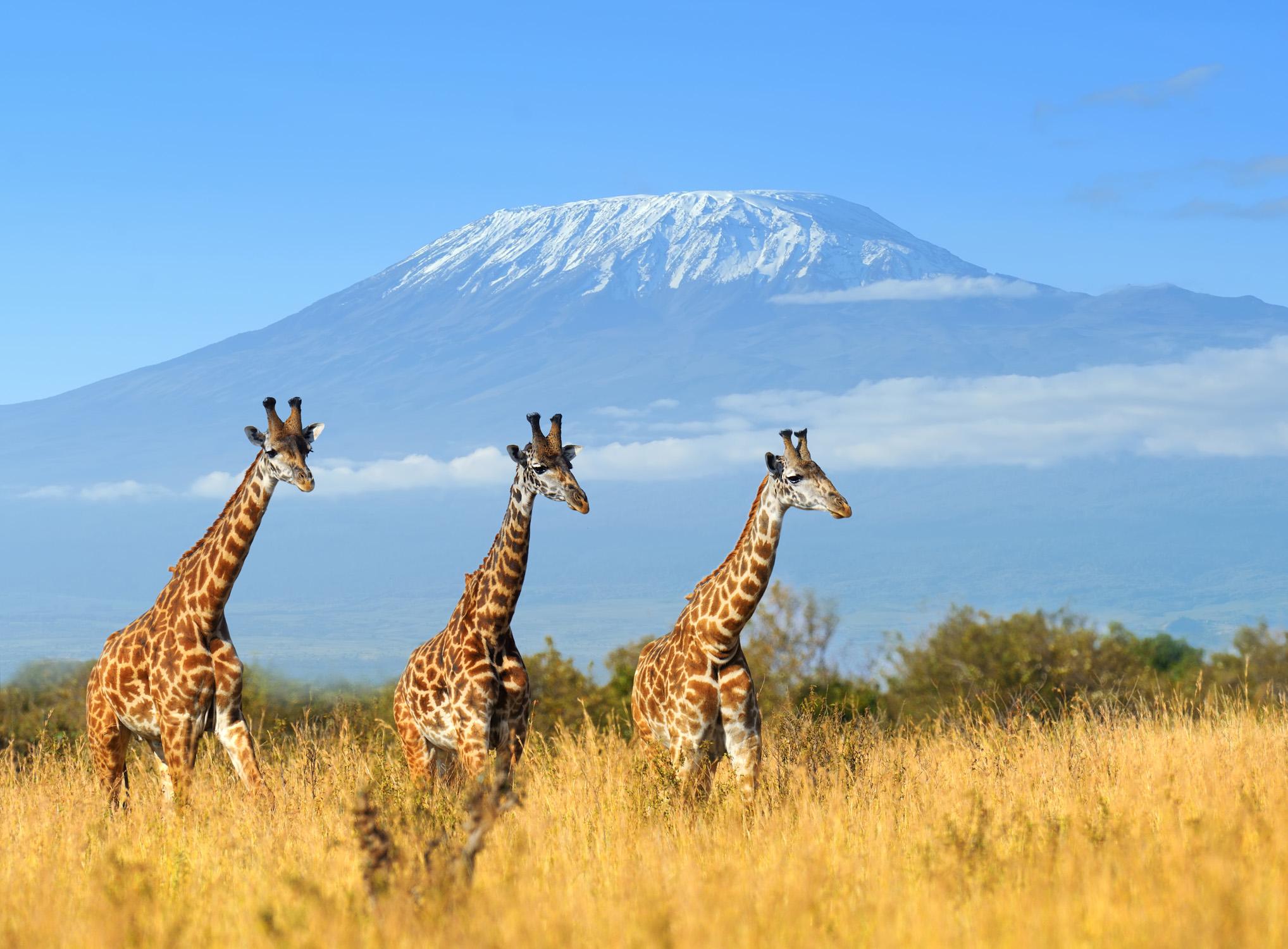 kenia giraffen urlaubsschn ppchen und tolle reise angebote. Black Bedroom Furniture Sets. Home Design Ideas