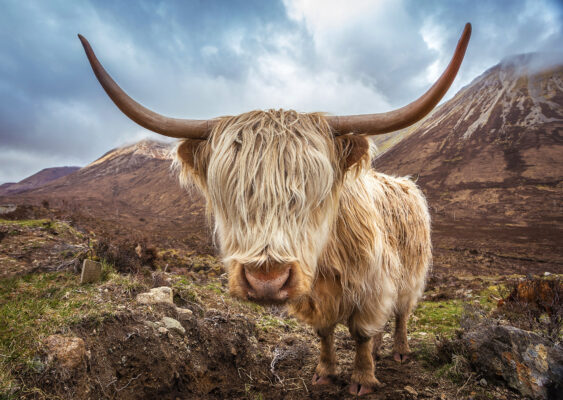 Schottland Büffel