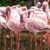 Everglades Flamingo
