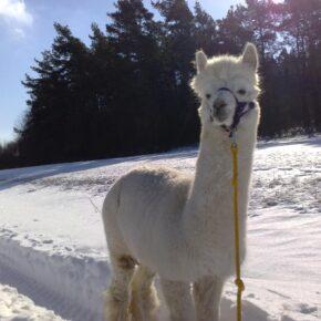 Winterspecial: Glühwein-Wanderung mit Lama oder Alpaka beim Märkischen Lamahof für 15€
