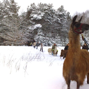 Märkischer Lamahof Schnee