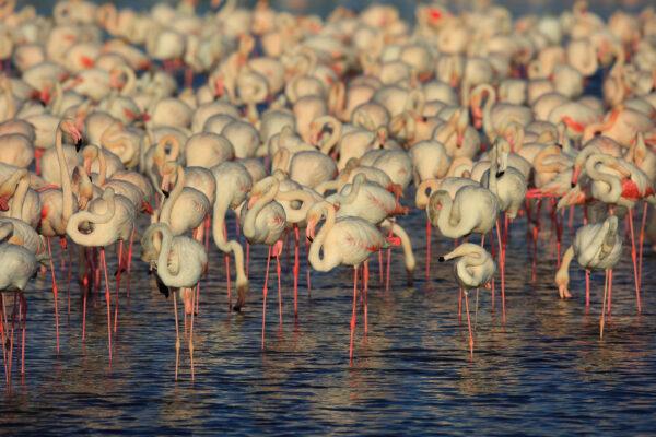 Dubai Flamingos