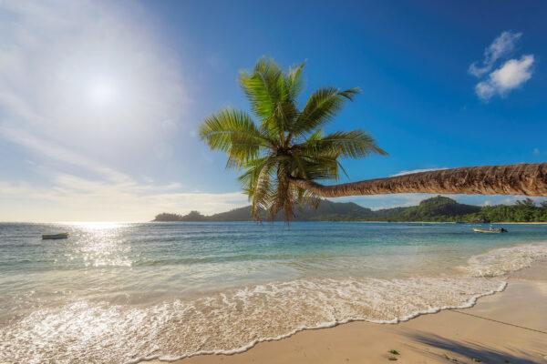 Jamaika Palme