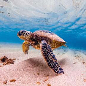USA Hawaii Schildkröte