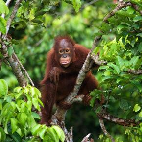 Mit Affen im Dschungel: Hin- und Rückflüge für 15 Tage Borneo nur 278€
