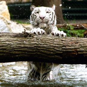 Serengeti Park Weißer Tiger