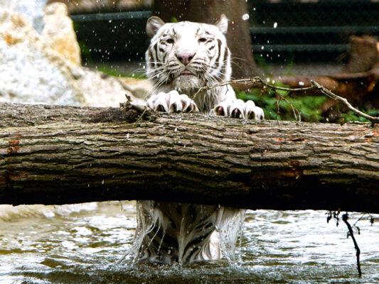 Serengeto Park Weißer Tiger