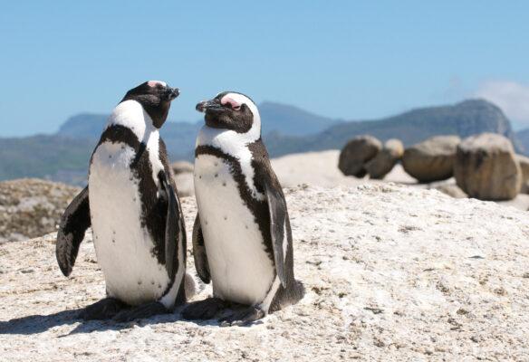 Südafrika Kapstadt Pinguine