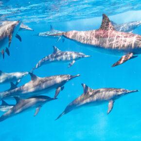 Ägypten Delfine Tauchen