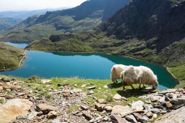 England Wales Snowdonia Park Schafe
