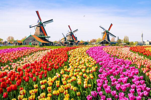 Niederlande Keukenhof Tulpen Windmühlen