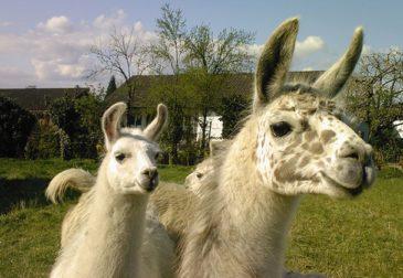 Tierfreunde aufgepasst: 1,5 Stunden Alpaka und Lamawanderung im Spreewald nur 7€