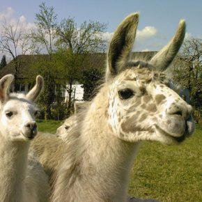 Tierfreunde aufgepasst: 2 Stunden Lama-Tour in der Pfalz inkl. Lamaführerschein nur 11€