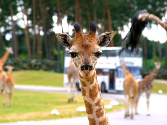 Serengeti Park Tierwelt Giraffe
