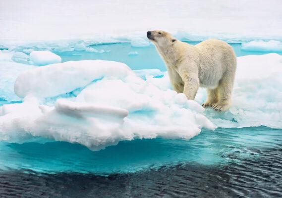 Spitzbergen Eisbär