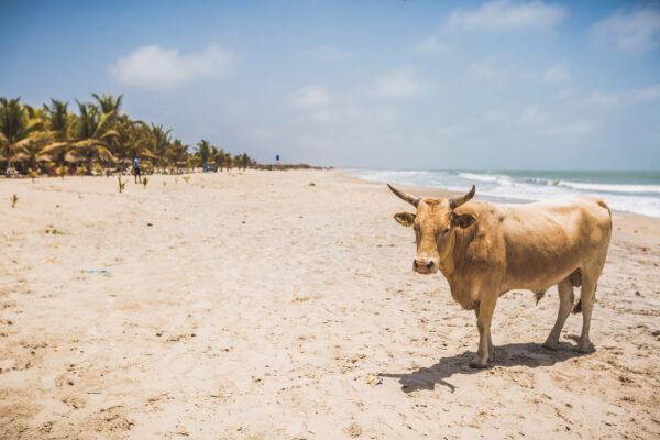 Gambia Kuh am Strand
