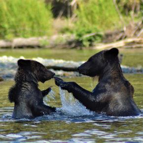Kanada British Columbia Grizzly Bären
