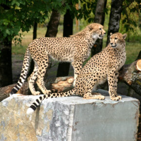 Safari Park Stukenbrock Geoparden