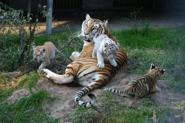 Safari Park Stukenbrock Tiger