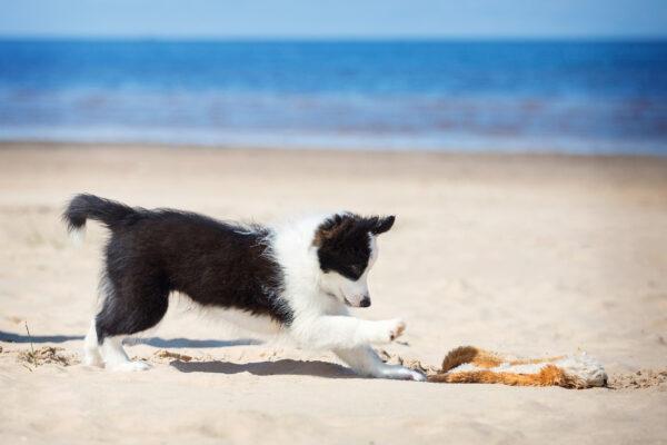 Welpe Puppy Strand