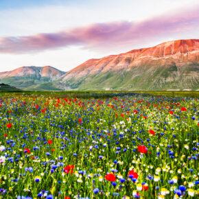 Einmaliges Naturereignis in Italien: Mohnblüte in Castelluccio