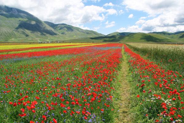 Italien Castelluccio Blumen
