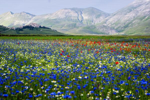 Italien Castelluccio Blumen blau