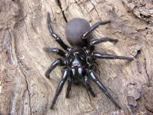 Australien Spinne