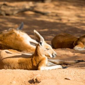 Roadtrip durch Australien Känguru