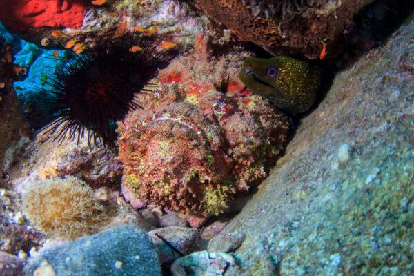 Australien Steinfisch