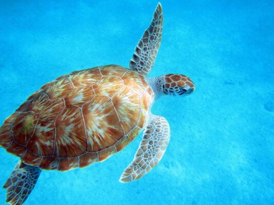 Barbados Meeresschildkröte